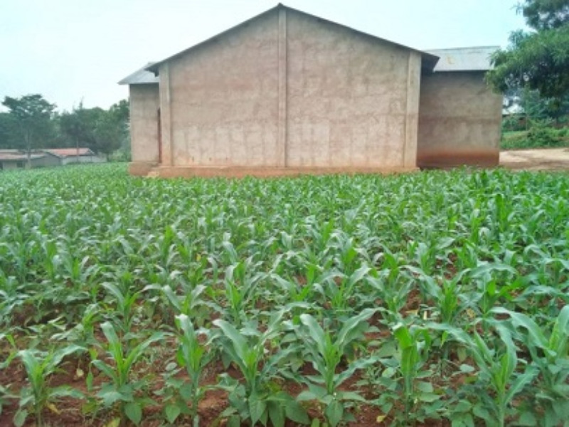 Church maize crop